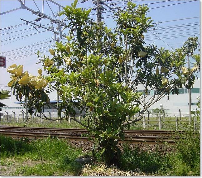 35沿線果樹栽培