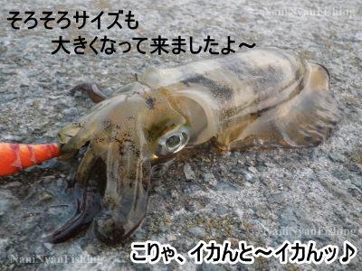淡路島アオリイカ.jpg