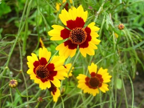 ハルシャギクの花。花の中心が濃紅色で周辺は黄色の蛇の目模様なので ...