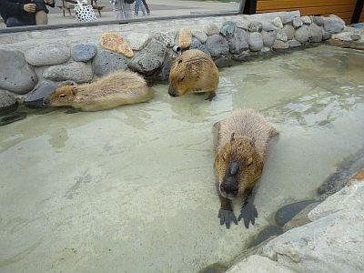 130423capybara.jpg