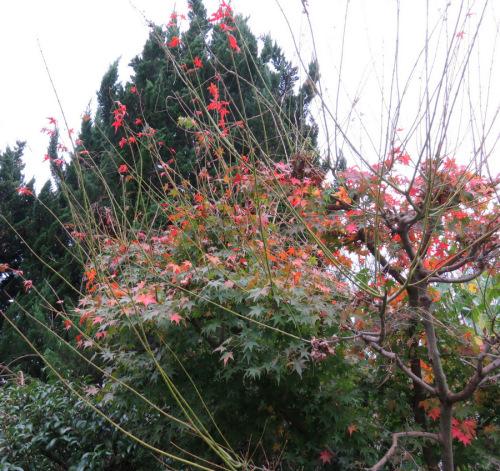 秋月の紅葉2.JPG