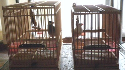 文鳥.JPG