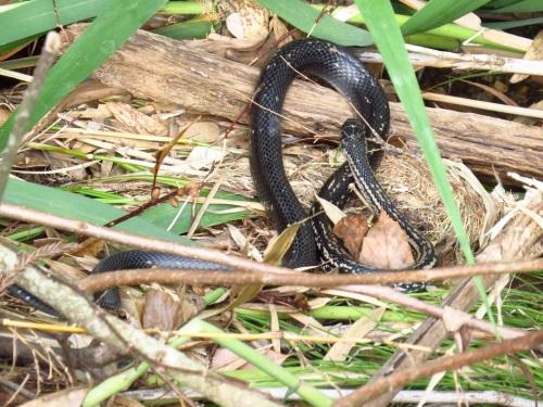 カラスヘビ(シマヘビ)3668.jpg