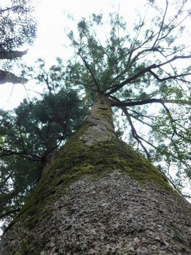 巨大なモミの木.jpg