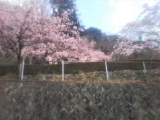 003sakura.JPG