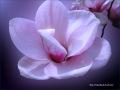 3_Magnolia.jpg