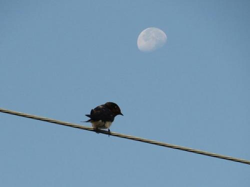 月と燕5965_2.jpg