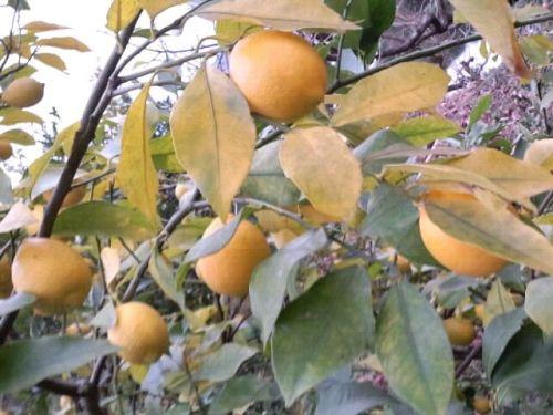 レモンの木2017