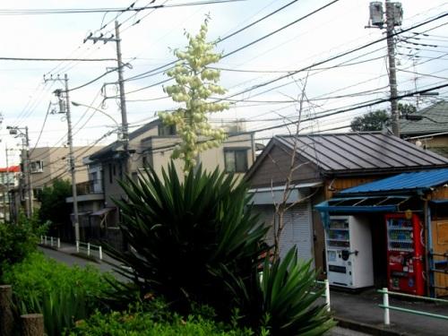 アツバキミガヨラン1.JPG