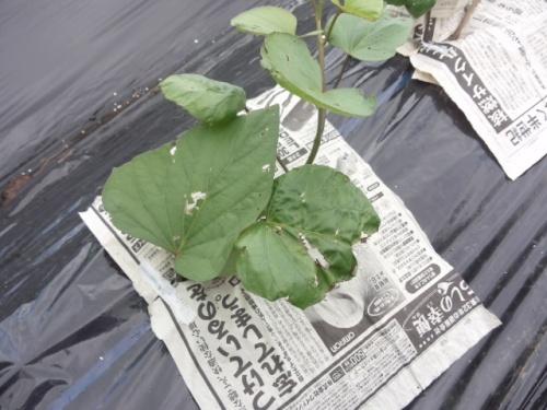 07新聞紙でサツマイモを確実に活着させる