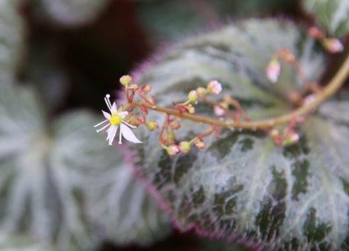 ユキノシタの花bl.jpg