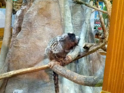 161204commonmarmoset.jpg